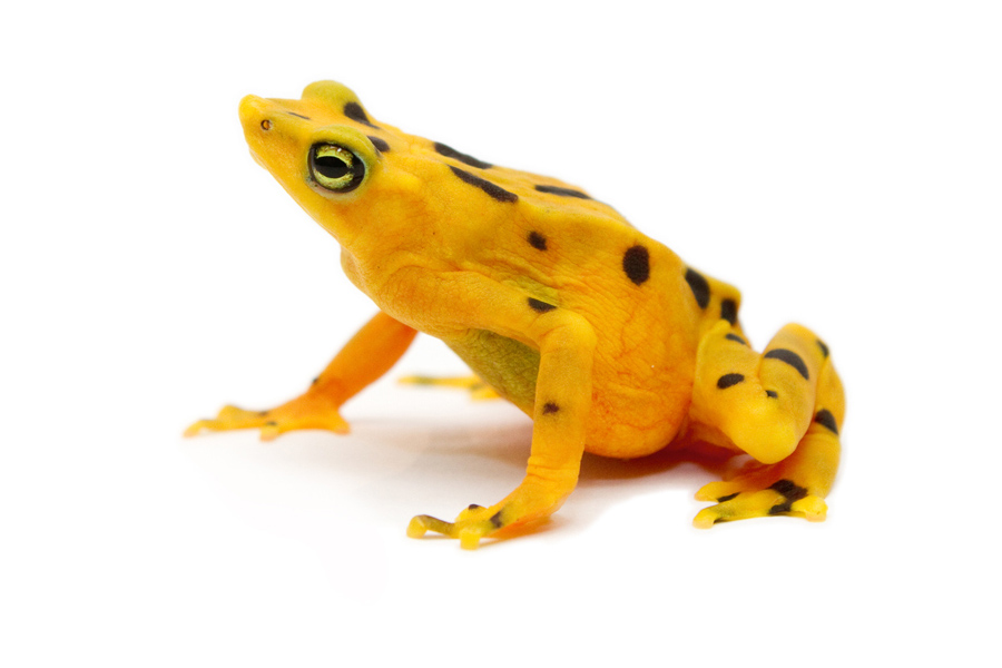 The Golden Frog A Zeteki Panama S National Is Only Species Of Genus Atelopus That Secretes Zetekitoxins Threatened By Chytrid Fungal