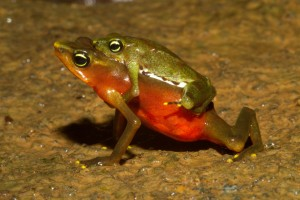 Lowland_Atelopus_limosus_male_and_Female_amplexus