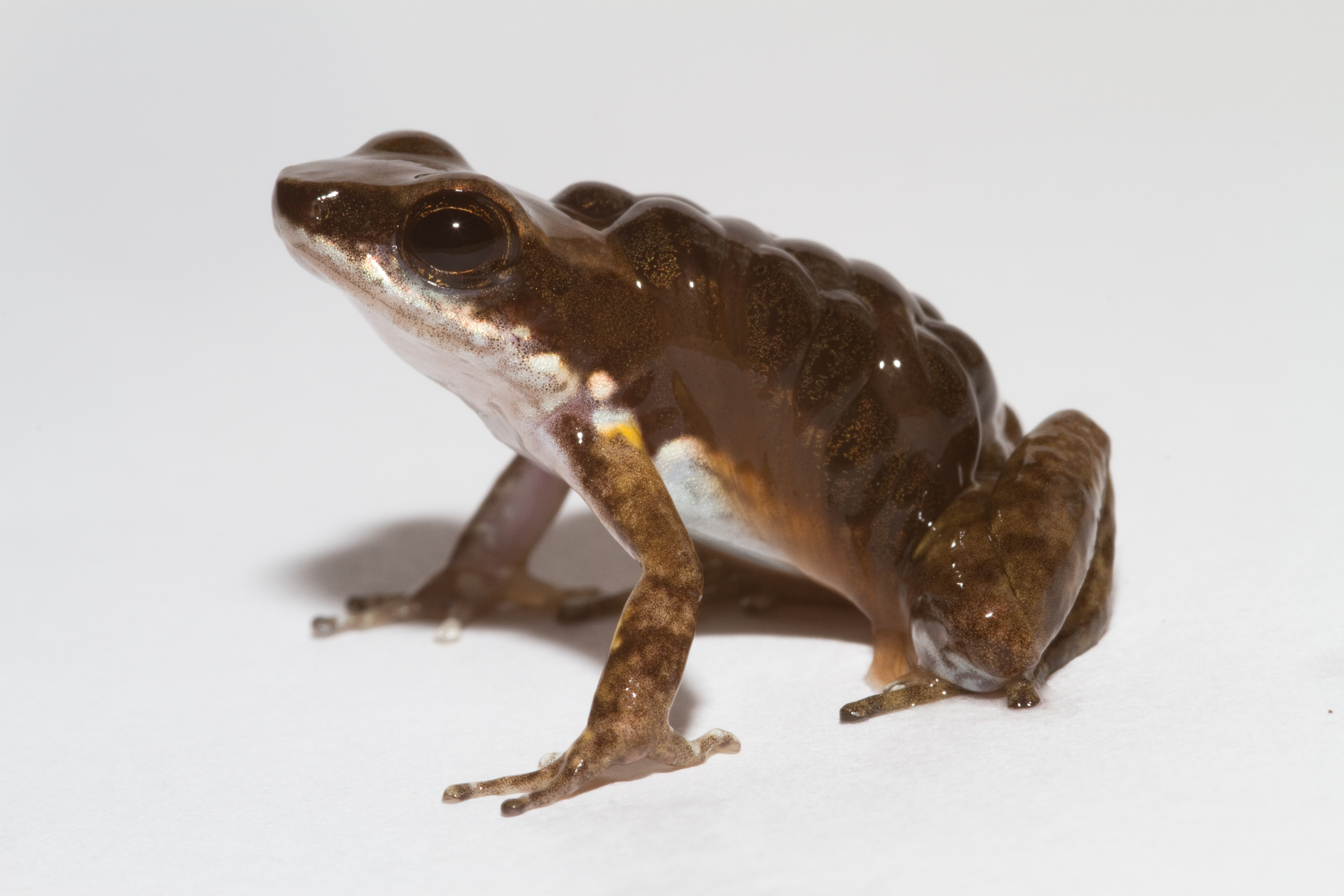 Rocket frog with tadpoles