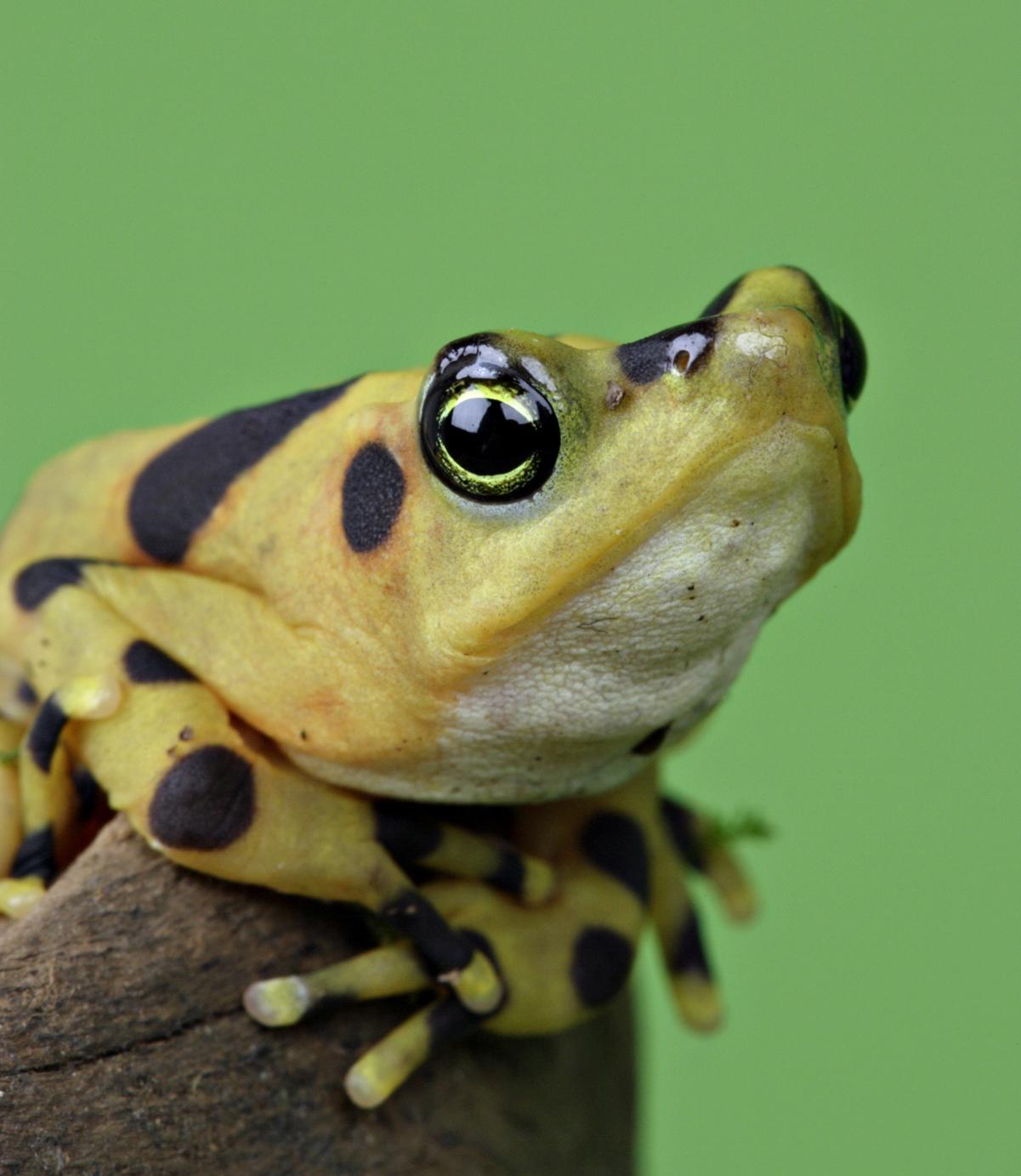 Atelopus frog poisonous - photo#20