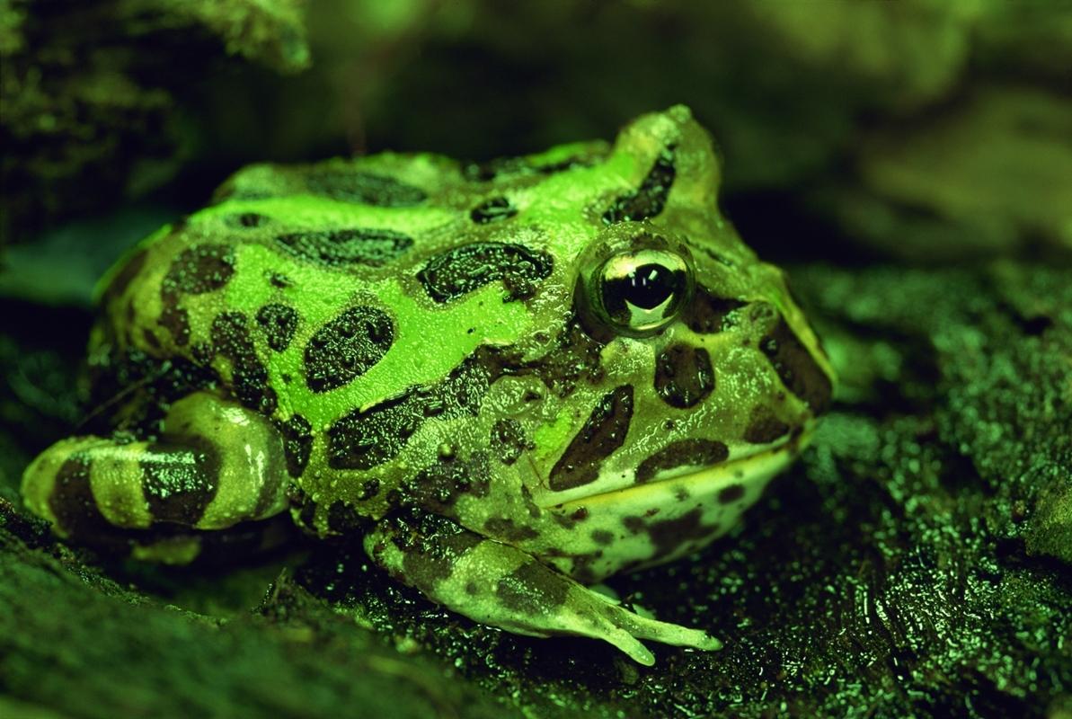 Chacoan Horned Frog Houston Zoo