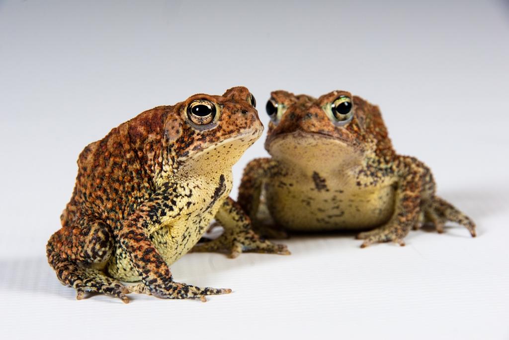 Houston toad (Bufo houstonensis)
