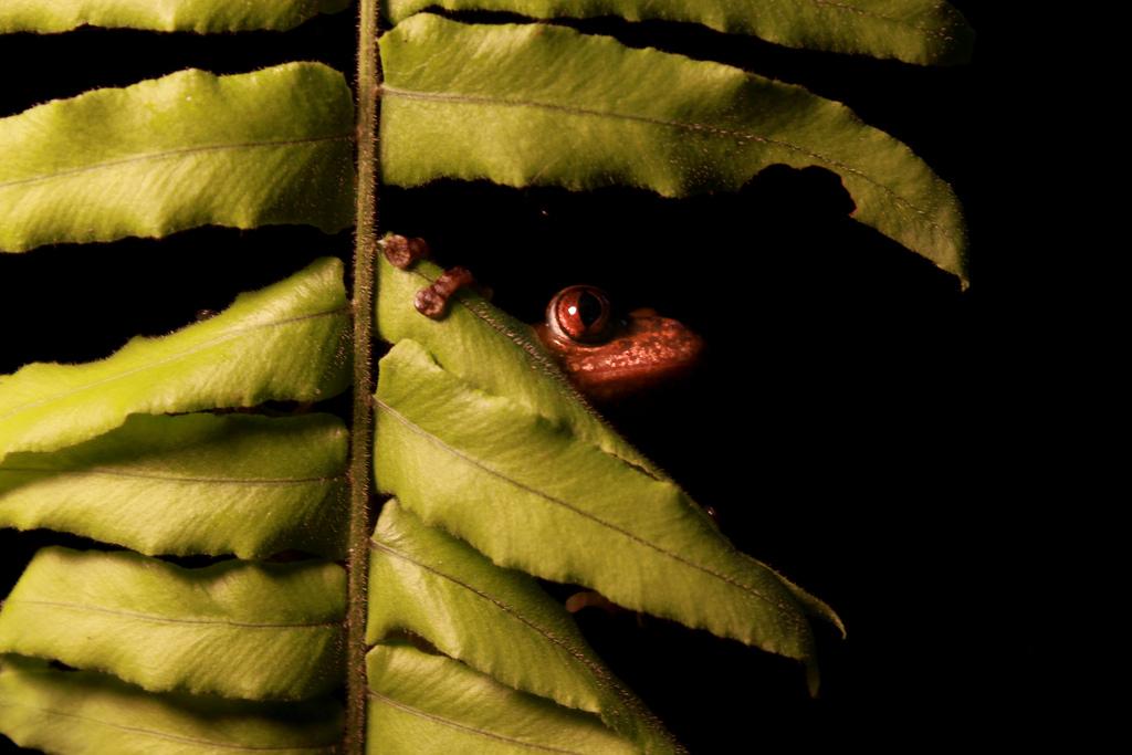 Olive striped frog (Phlyctimantis leonardi)