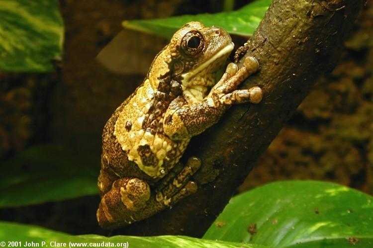 Pepper tree frog (Trachycephalus venulosus)