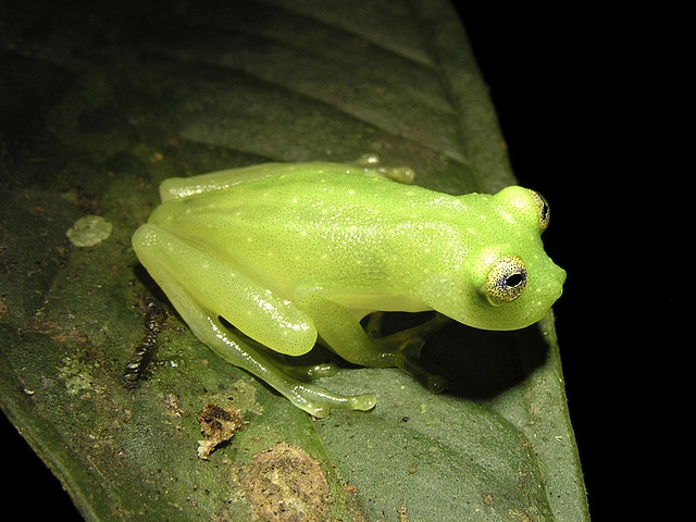 Cricket glass frog (Hyalinobatrachium colymbiphyllum)