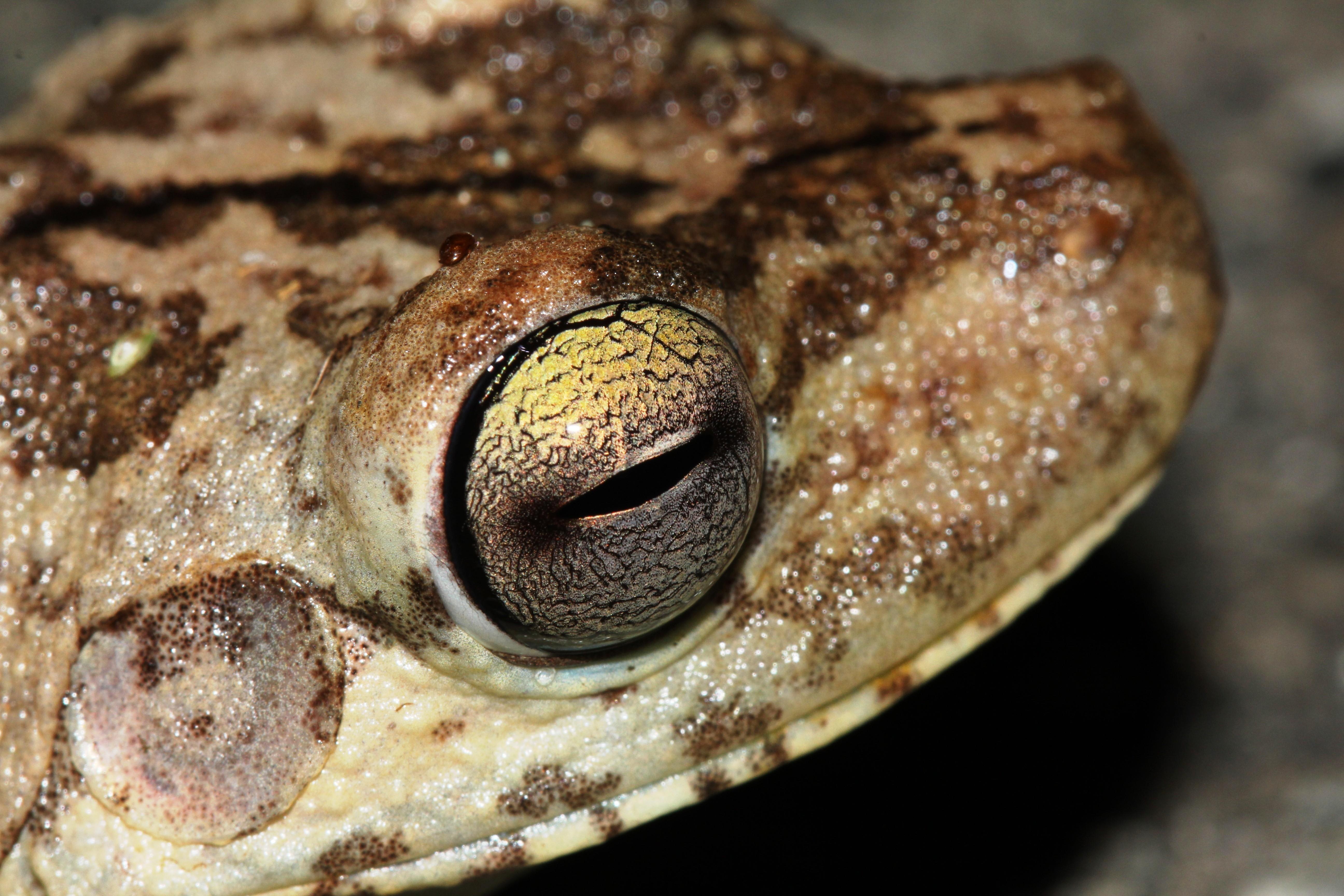 Gladitator frog (Hypsiboas rosenbergi)