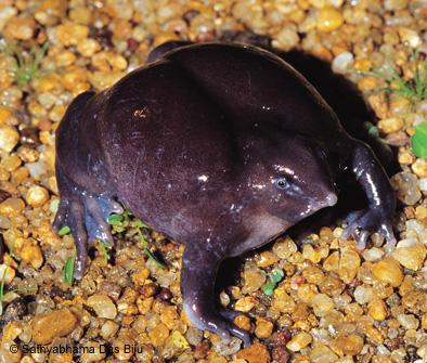 Indian purple frog (Nasikabatrachus sahyadrensis)