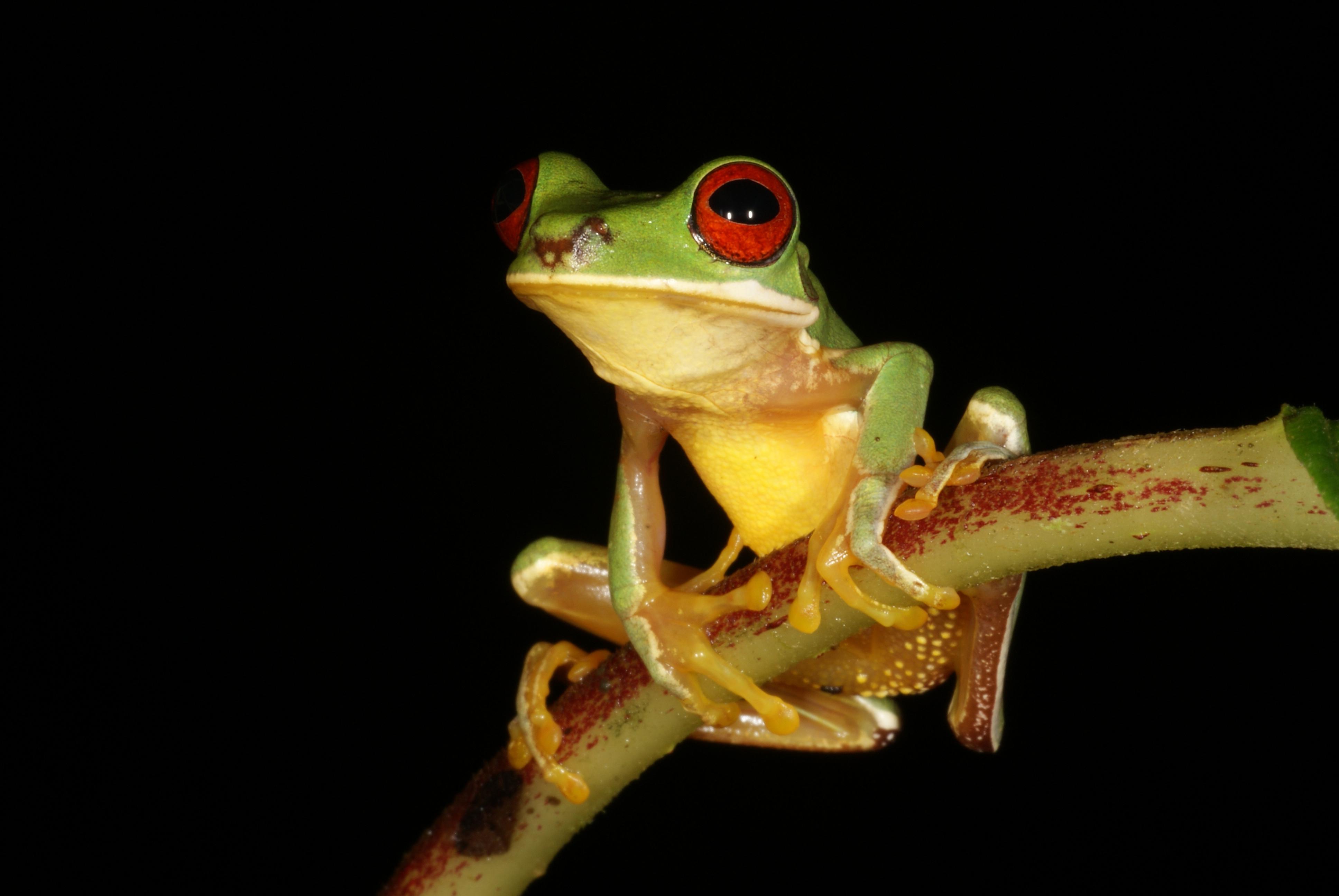 Red-eyed stream frog (Duellmanohyla uranochroa)