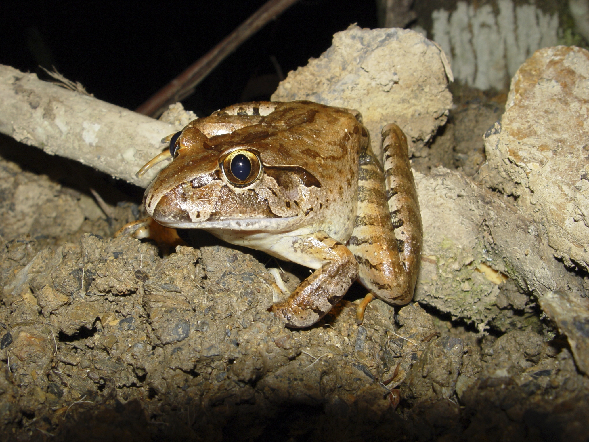 Giant barred frog (Mixophyes iteratus)