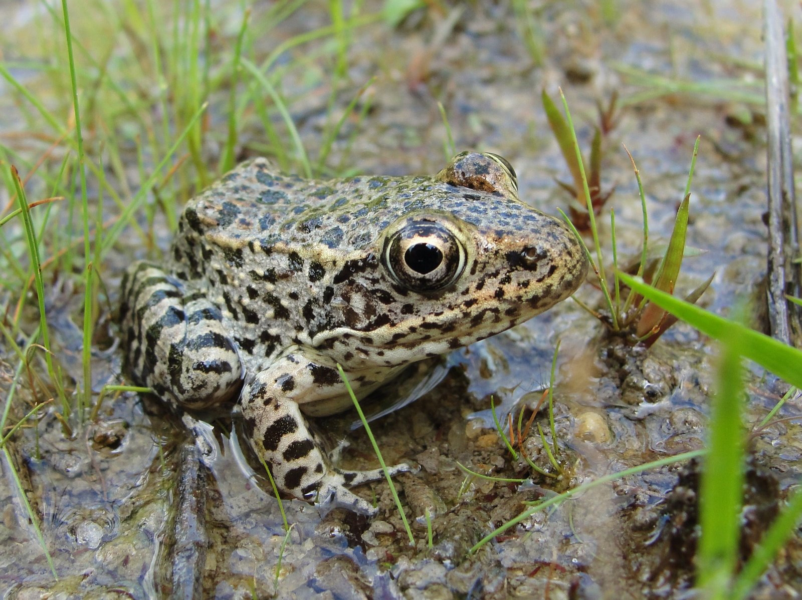 Gopher frog (Lithobates capito)