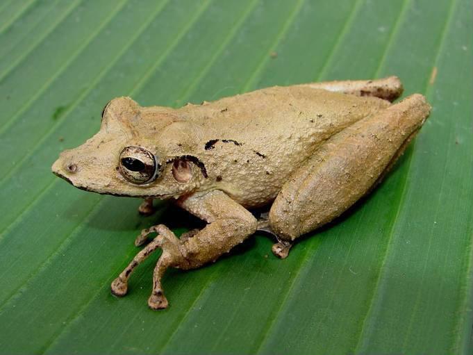 Caracas snouted treefrog (Scinax rostratus)