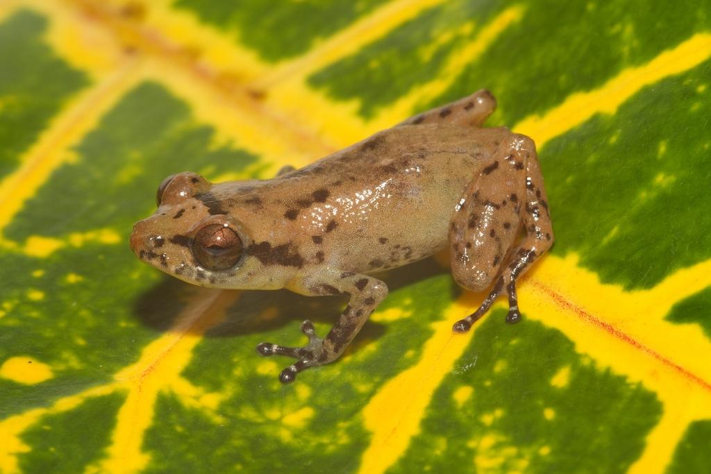Caretta robber frog (Diasporus diastema)