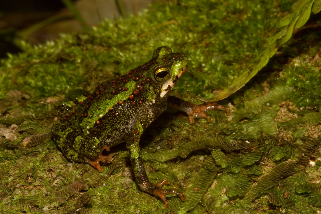 Green climbing toad (Incillius coniferus)