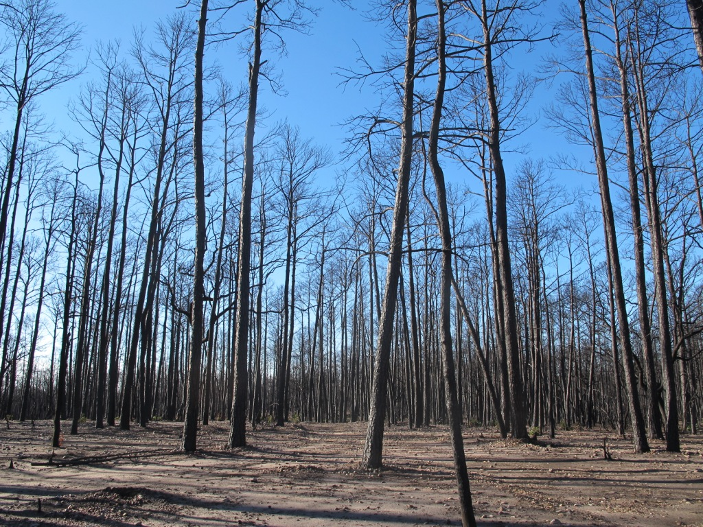 This photo shows Bastrop State Park, what had been prime habitat for the endangered Houston toad. The photo was taken on January 13, 2012, slightly more than three months after the devastating wildfire that scored more than 34,000 acres and destroyed 40 percent of Houston toad habitat in the Park