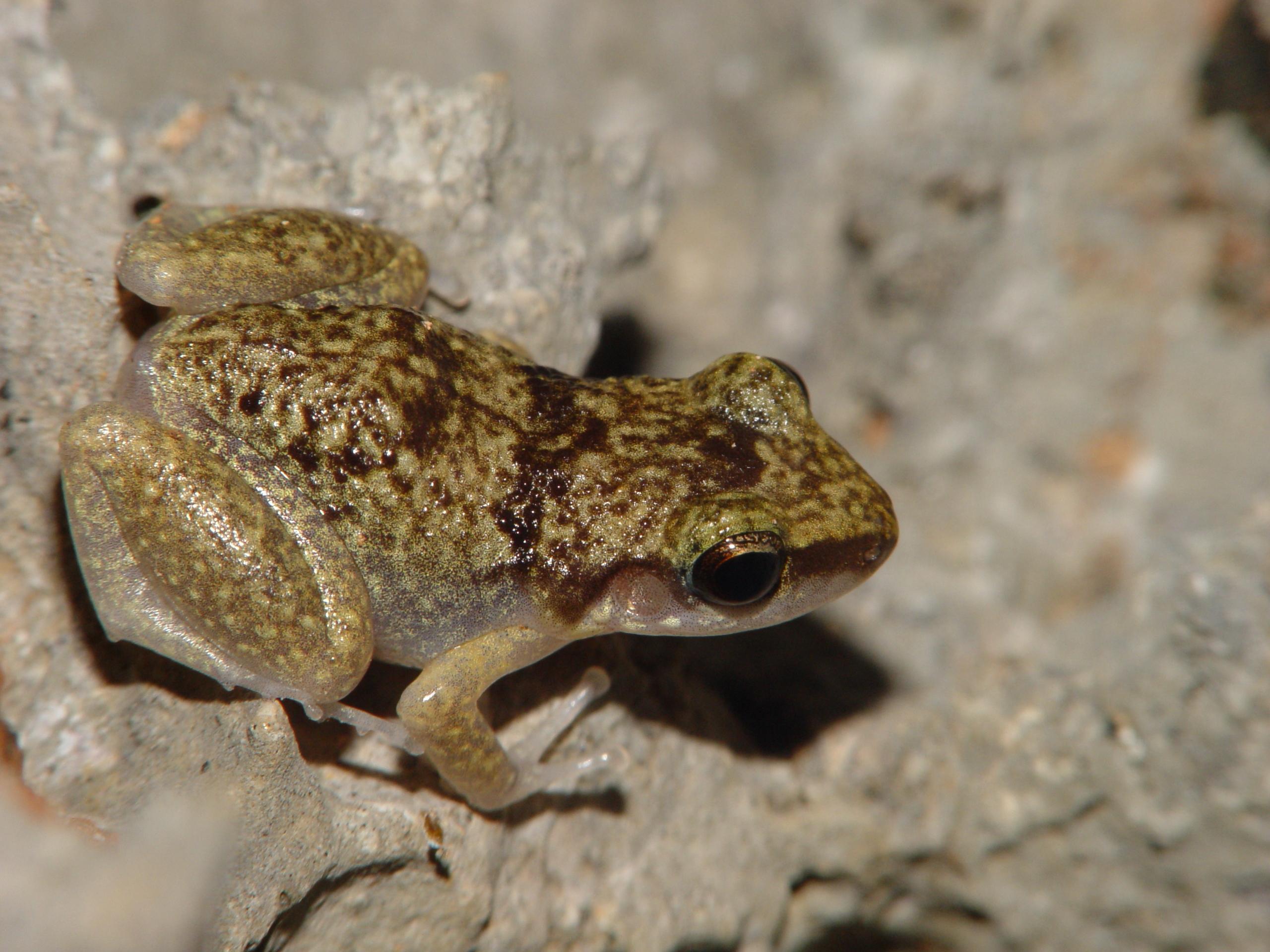 Etheridge's robber frog (Eleutherodactylus etheridgei)
