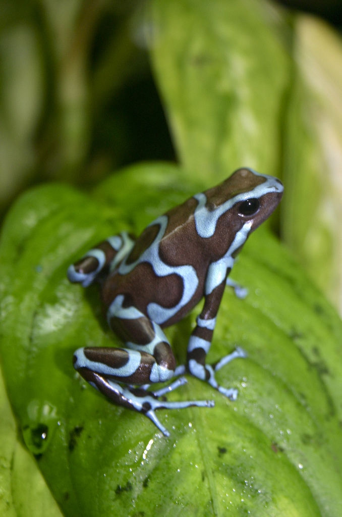 Green poison dart frog (Dendrobates auratus)