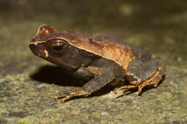 Leaf litter toad (Rhaebo haematiticus)