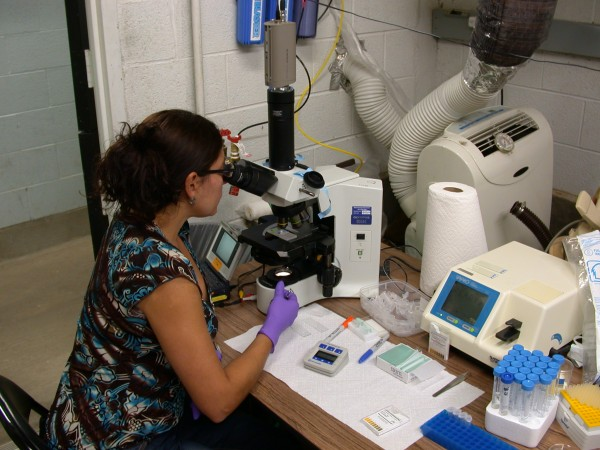 Gina Della Togna, an SCBI PhD student and native Panamanian, is one of the researchers in charge of the sperm collection procedure.