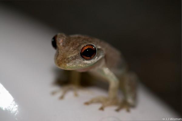 Johnstone's whistling frog (Eleutherodactylus johnstonei)