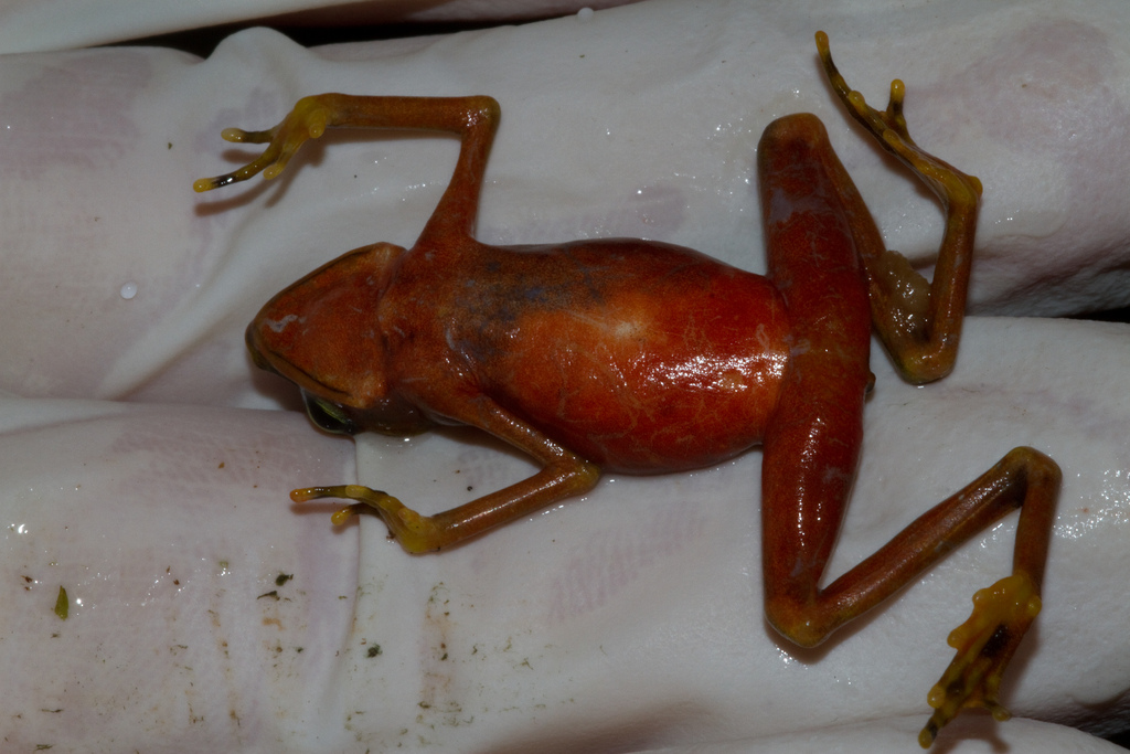 Chytrid infected frog