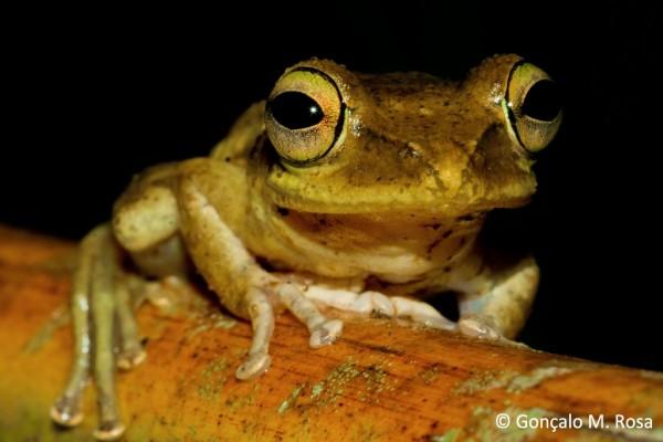 Dumeril's bright-eyed frog (Boophis tephraeomystax)
