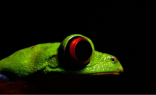 Misfit leaf frog (Agalychnis saltator)
