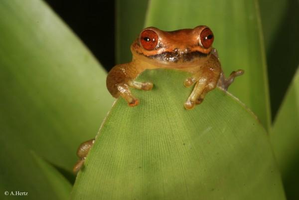 Volcan barba tree frog (Isthmohyla picadoi)