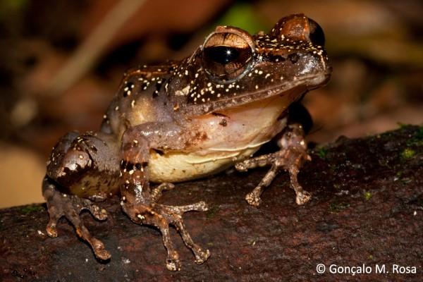 White Madagascar Frog (Gephyromantis luteus)