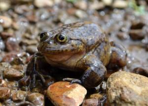 Acancocha water frog (Telmatobius jelskii)