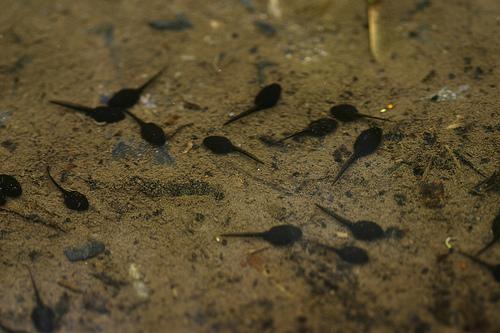 American toad tadpoles