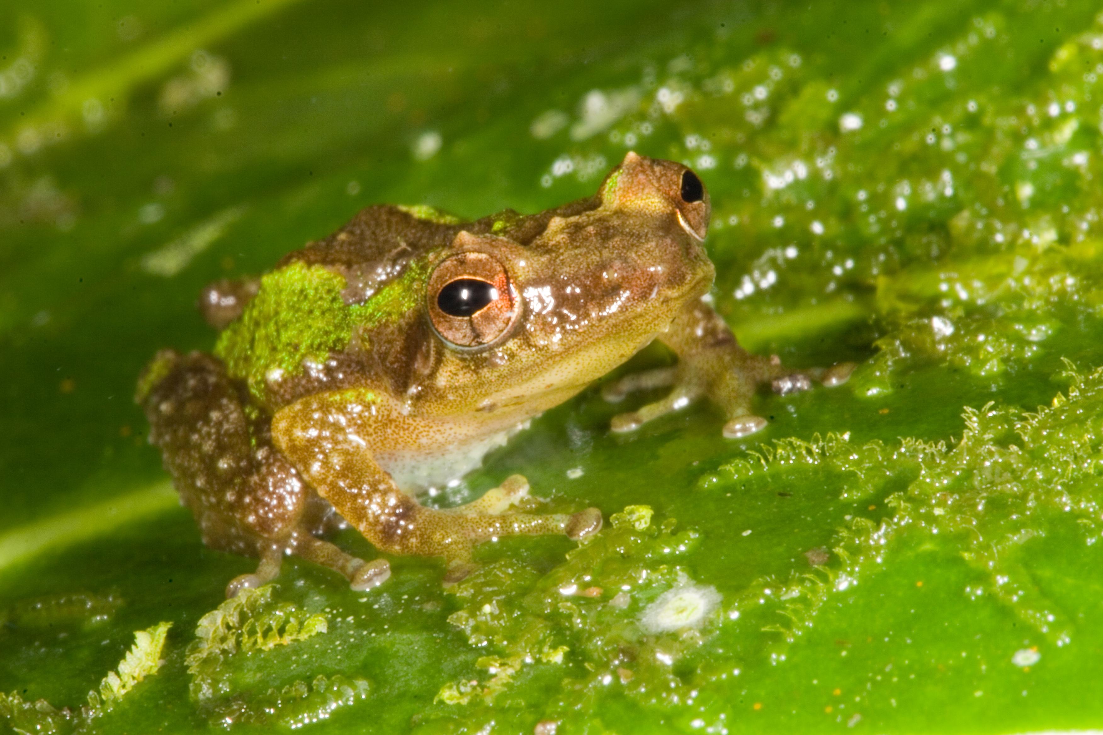 Cricket coqui (Eleutherodactylus gryllus)
