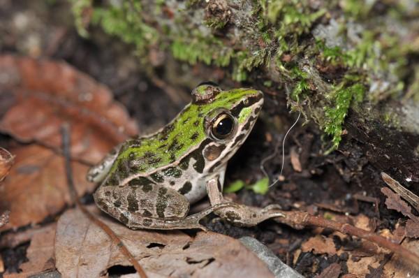 Dark-spotted frog (Rana nigromaculata)