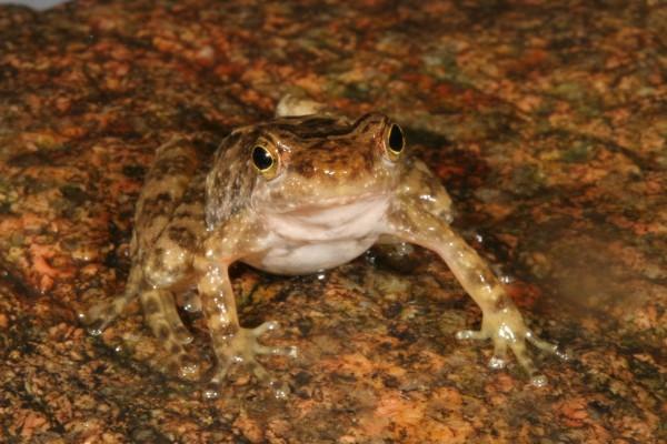 Eungella torrent frog (Taudactylus eungellensis)