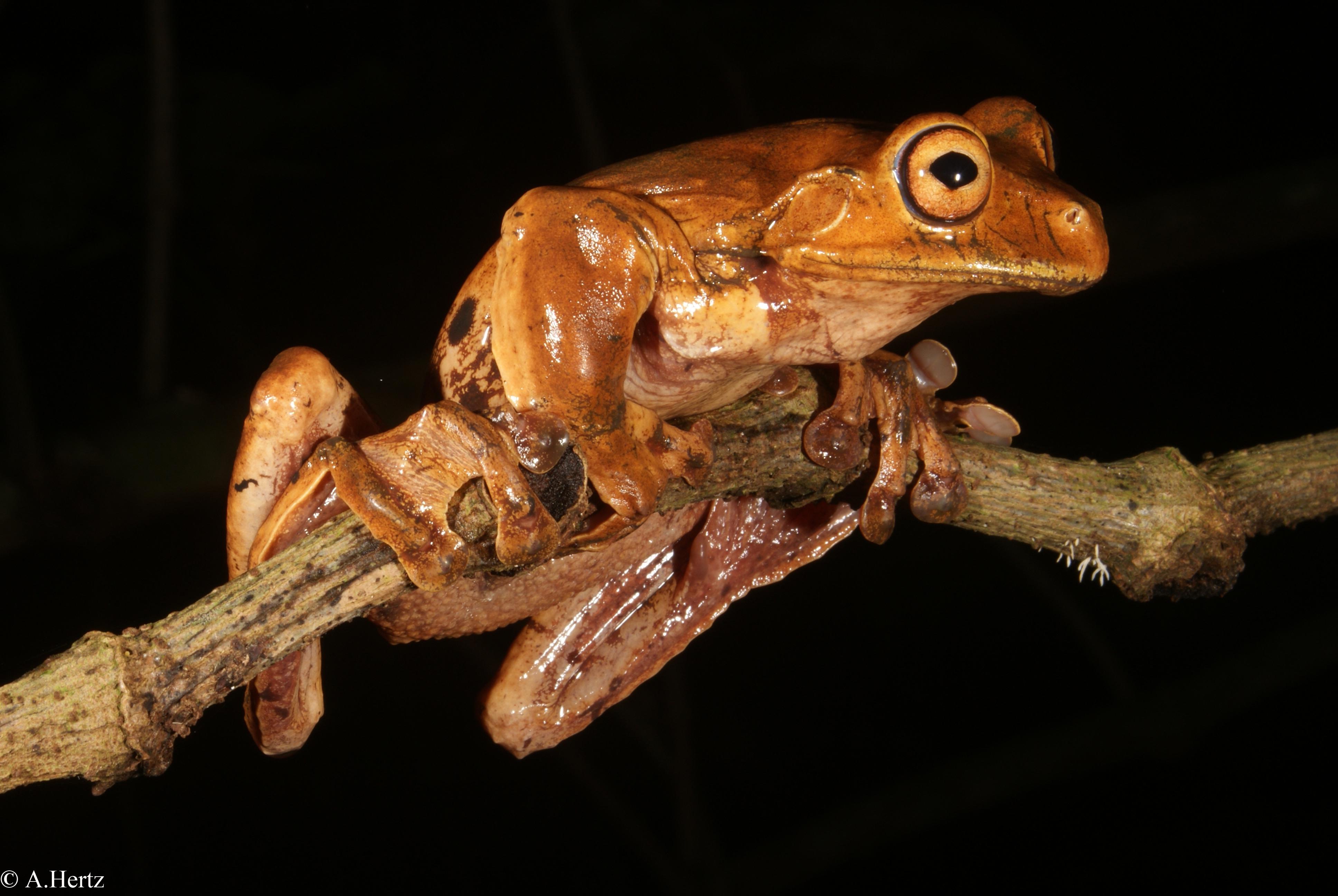 Fringe-limbed tree frog (Ecnomiohyla fimbrimembra)