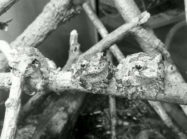 Gray tree frog (Chiromantis xerampelina)