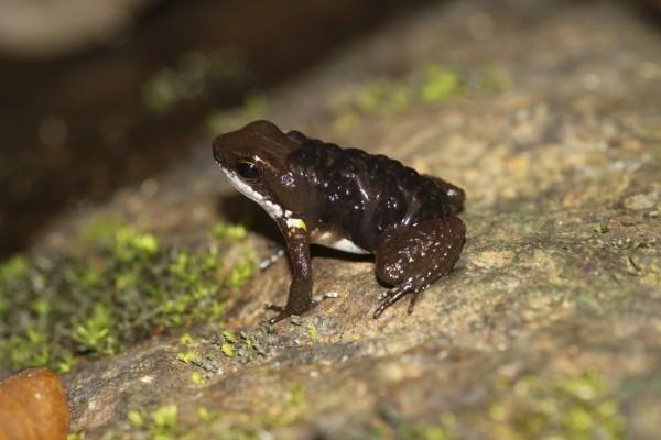 Rana veneno de dardo de Panamá (Colostethus panamensis)