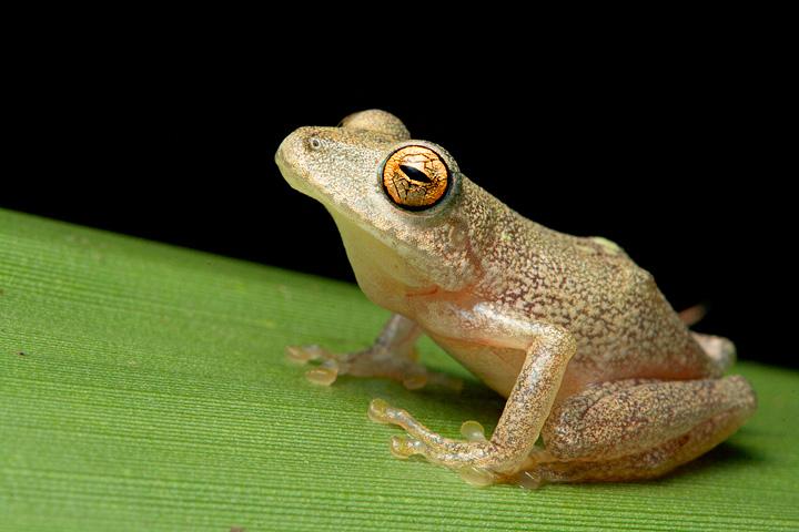 Eugenia's rain-peeper (Pristimantis eugeniae)