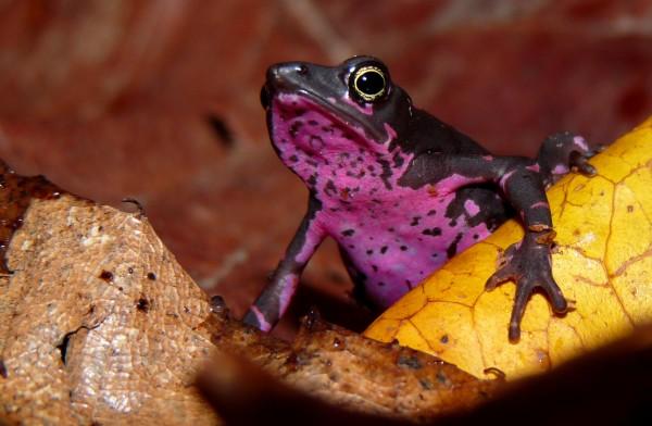 Pebas stubfoot toad (Atelopus spumarius)