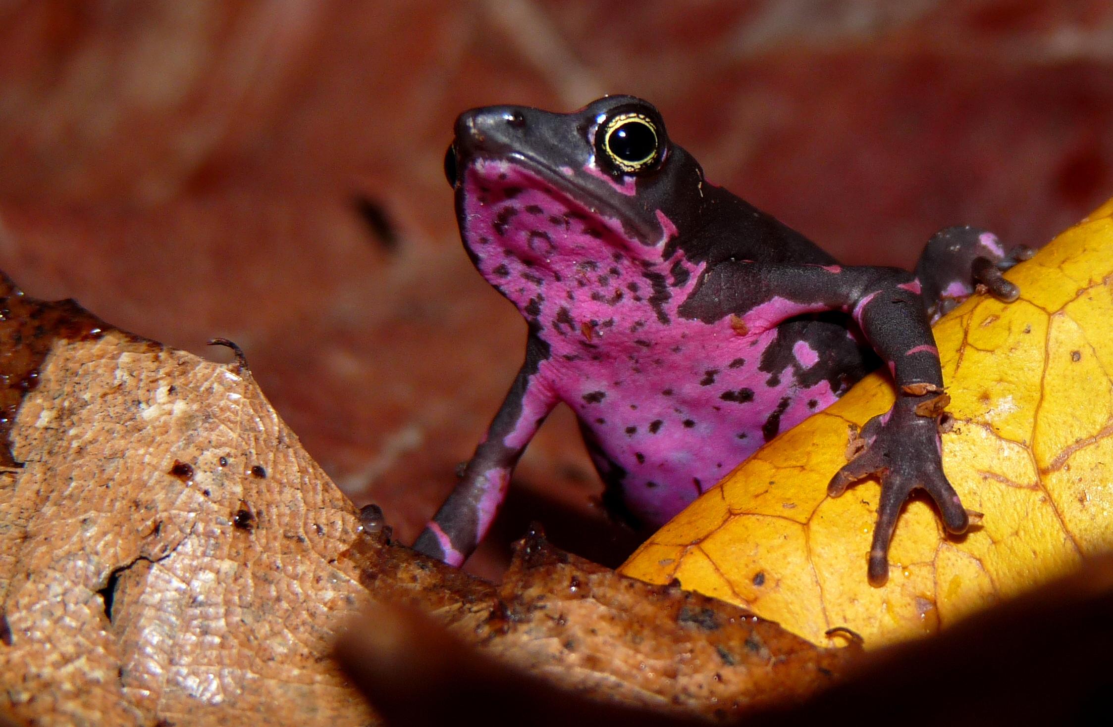 Atelopus frog poisonous - photo#7