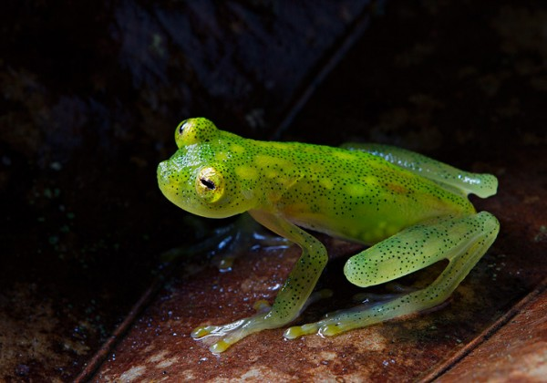 Reticulated glassfrog (Hyalinobatrachium valerioi)