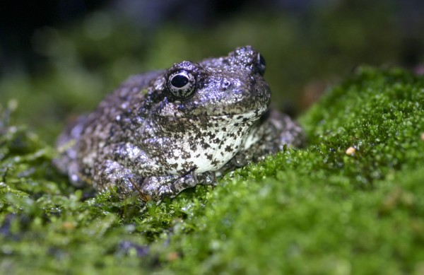 Gray tree frog