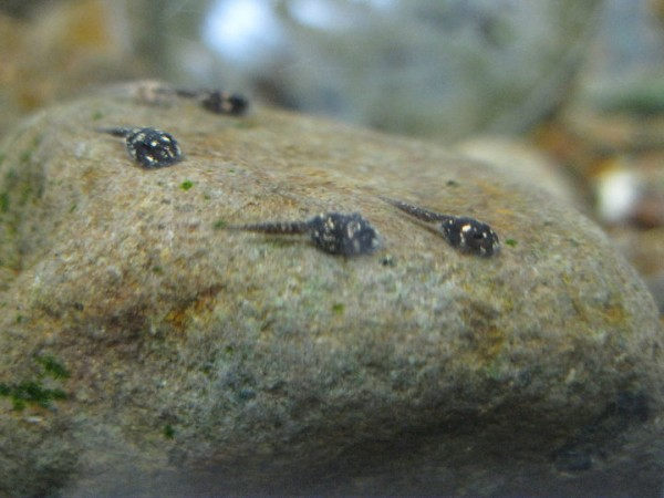 Tadpoles
