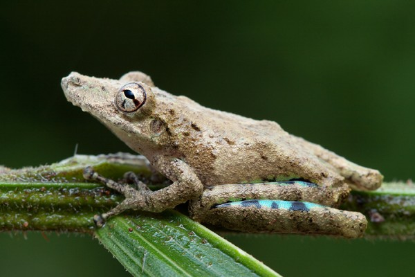 Acute treefrog (Scinax sugillatus)
