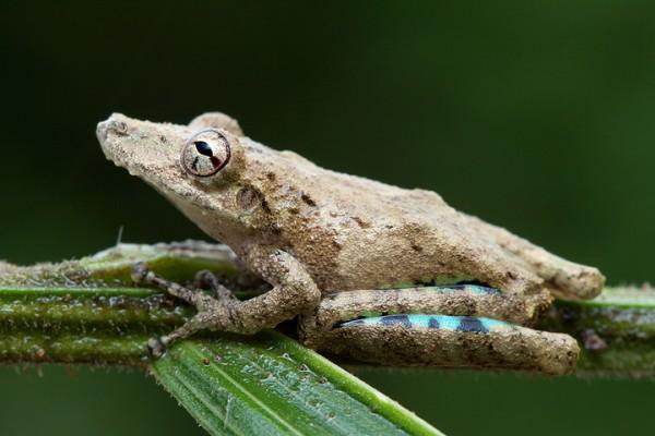 Acute treefrog (Scinax sugillatus)