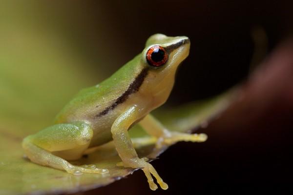 Green rain-peeper (Pristimantis acuminatus)