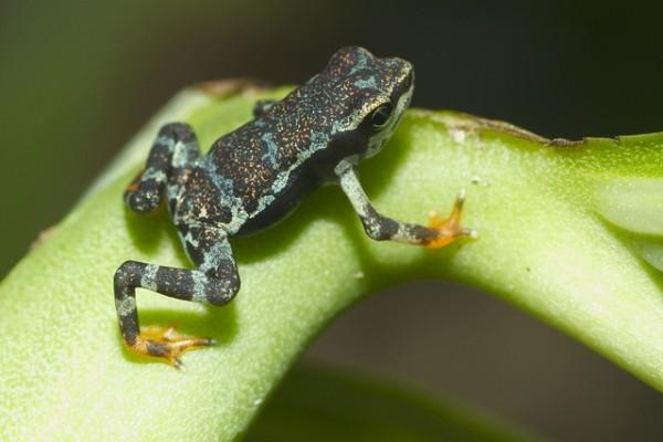 Pirre harlequin frog (Atelopus gylphus)