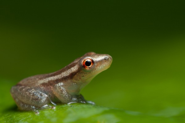 Reddish Rapidana (Scinax ruber)