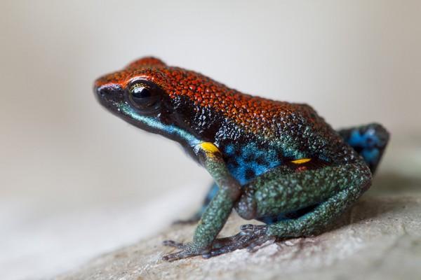Wikiri poison-frog (Ameerega bilinguis)