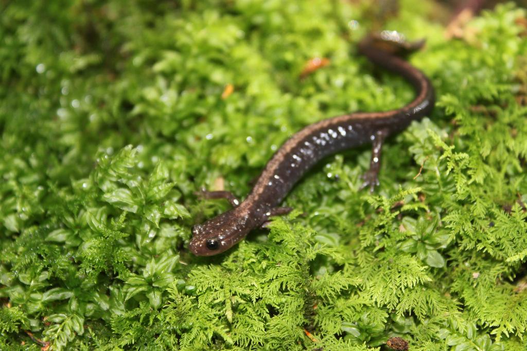 Shenandoah salamander (Plethodon shenandoah)