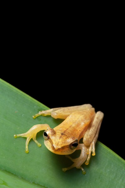 Basin treefrog (Hypsiboas lanciformis)
